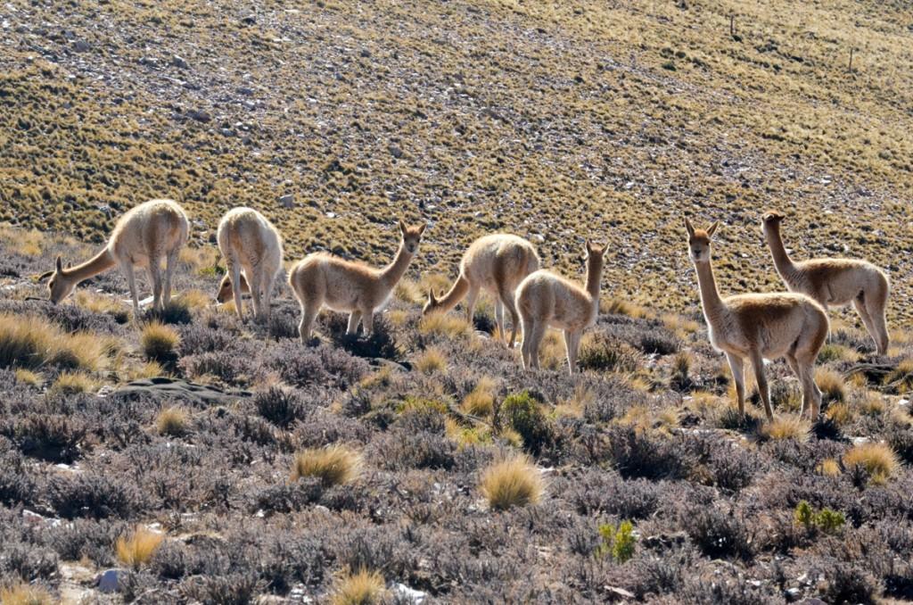 vicuñas na vegetação a beira da estrada em salta