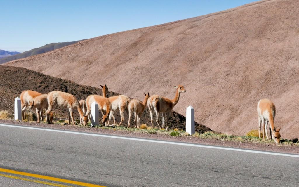 vicuñas argentina
