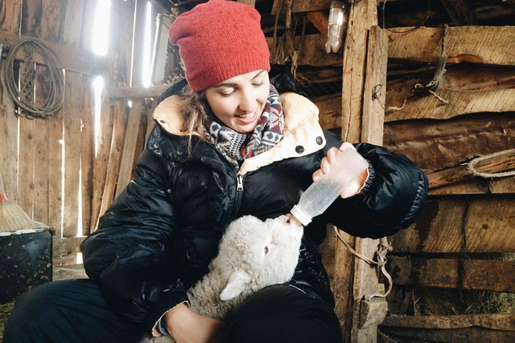 Amamentando ovelha