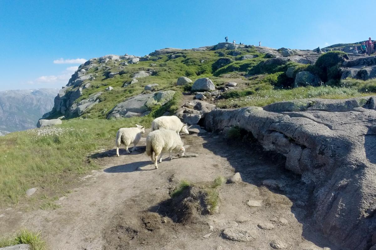 Trilha noruega cabras