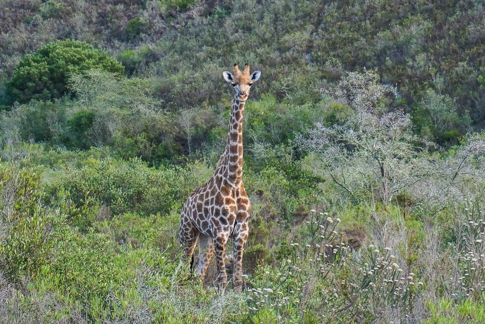 Safari em Gondwana Game Reserve