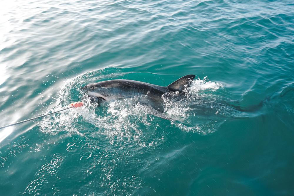 Tubarão branco em Mossel Bay