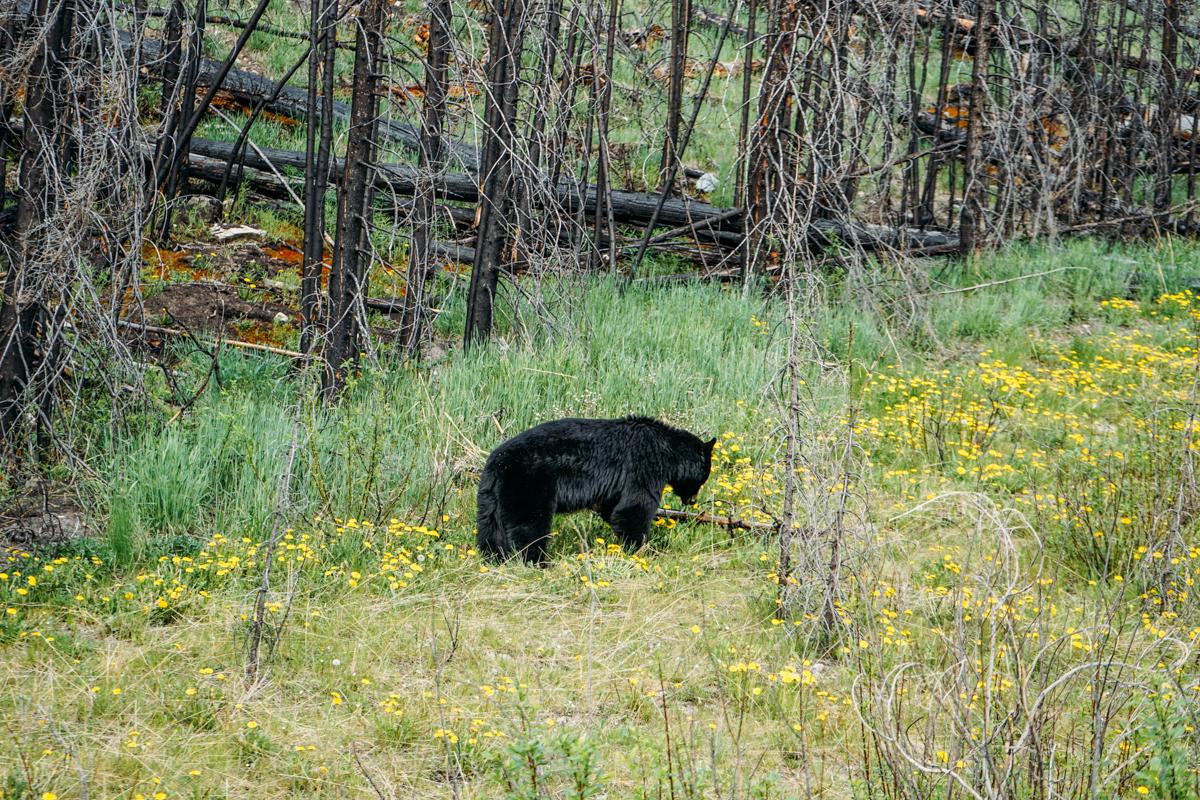 Ursos em Jasper