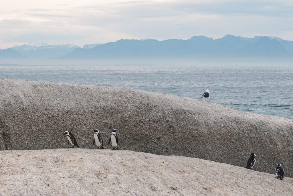 Pinguins juntos na oulder's Beach em Cape Town