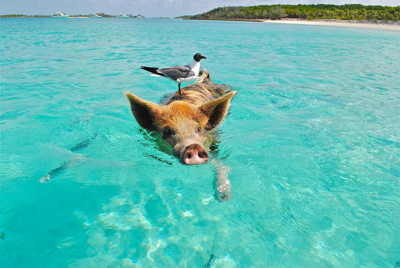 Ilha dos Porcos, Bahamas