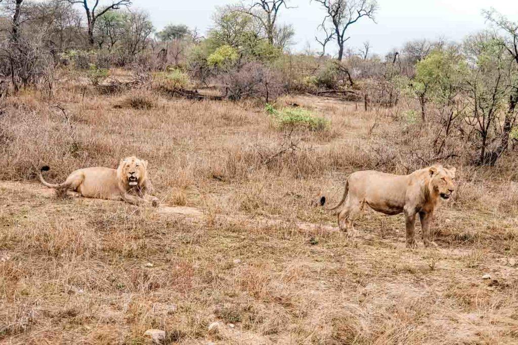 safari-africa-do-sul-leão