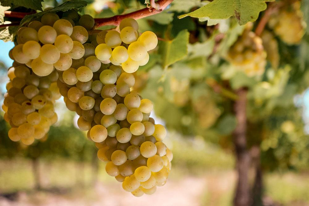 vinho branco africa do sul