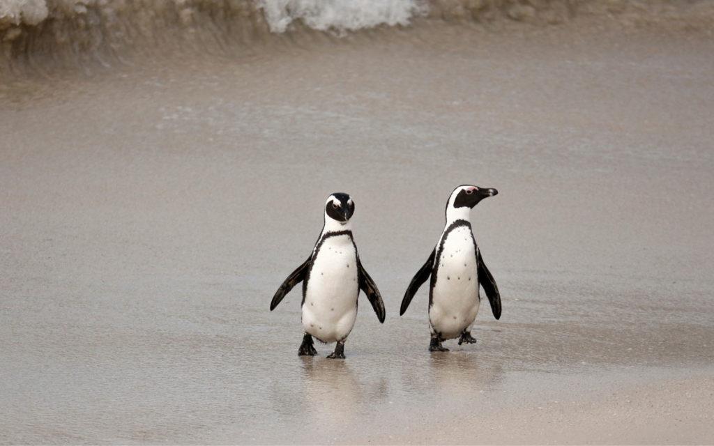 pinguins cape town