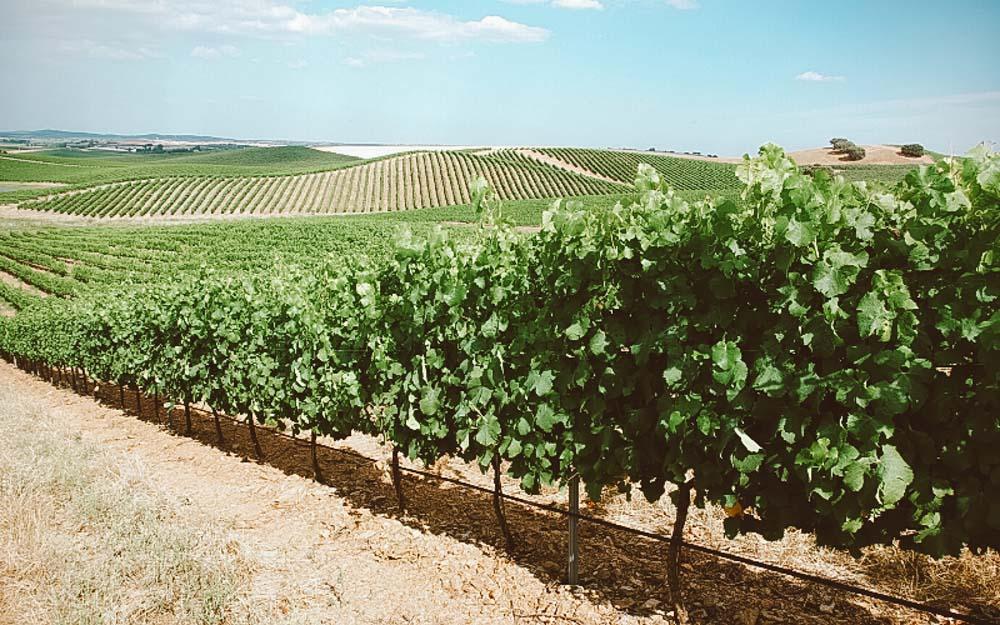 vinicolas em portugal plantação
